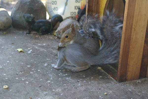 Photograph - Squirrel And Blurrel by Ben Upham III