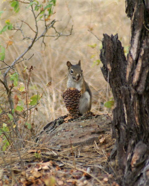 Photograph - Squirrel And Cone by Ben Upham III