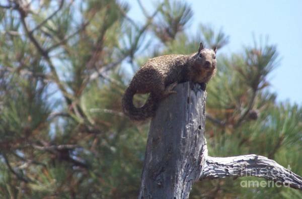 Photograph - Squirrel At Torrey Pines by Charles Robinson
