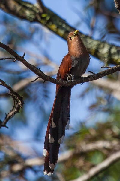 Cuculidae Photograph - Squirrel Cuckoo by Craig Lapsley