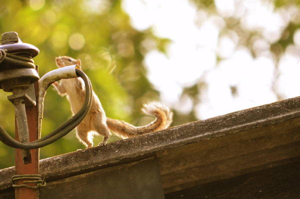 Wall Art - Photograph - Squirrel by Danusha Navanjana