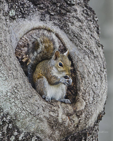 Photograph - Squirrel In A Knot by Mike Fitzgerald