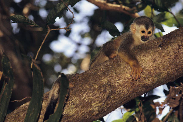 Squirrel Monkey Wall Art - Photograph - Squirrel Monkey In Tree by Steve Winter