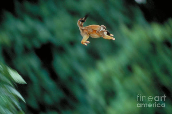 Squirrel Monkey Wall Art - Photograph - Squirrel Monkey Leaping With Young by Gregory G Dimijian MD
