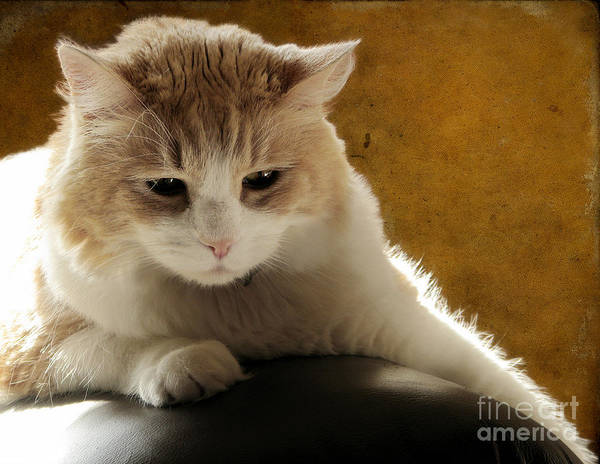 Long Hair Cat Photograph - Squishy by Ellen Cotton