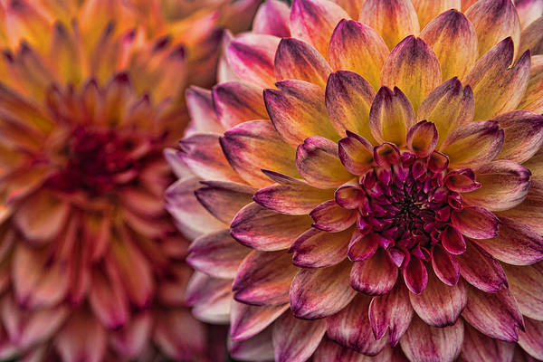 Photograph - Stacked Dahlias by Wes and Dotty Weber