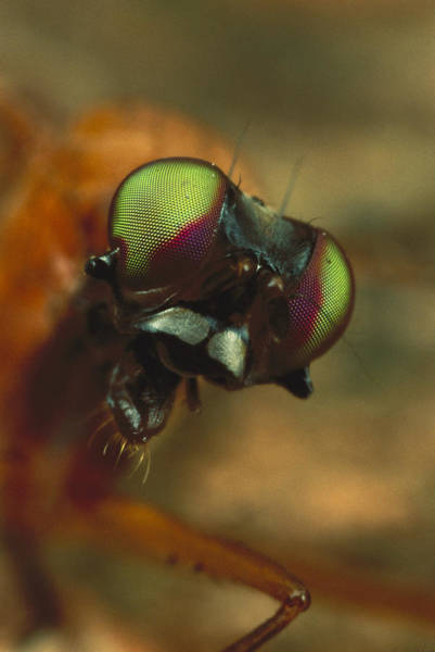 Photograph - Stag Fly Phytalmia Cervicornis Small by Mark Moffett