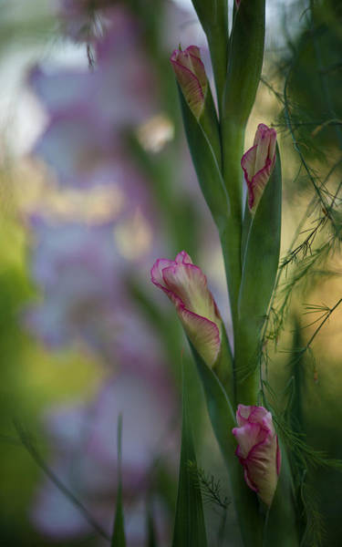 Softly Photograph - Stalk Of Light by Mike Reid