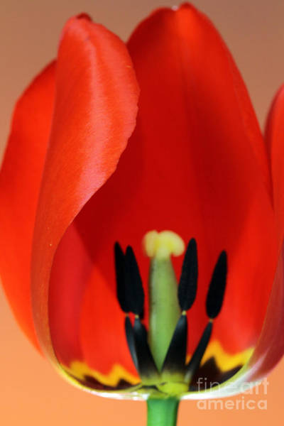 Photograph - Stamen Of Tulip by Photo Researchers Inc