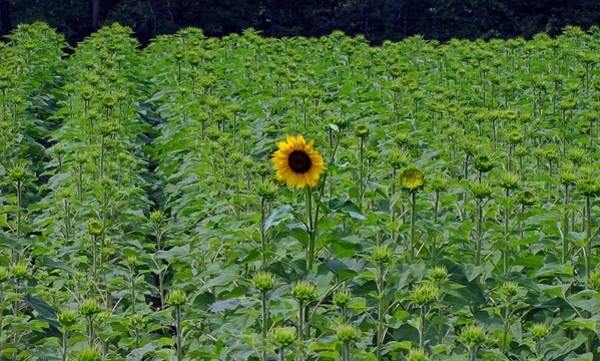 Photograph - Standing Tall Sunflower by Ms Judi