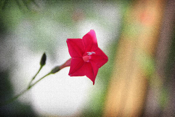 Photograph - Star Flower I by Kelly Hazel