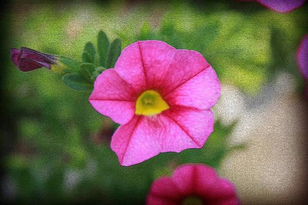 Photograph - Star Flower IIi by Kelly Hazel
