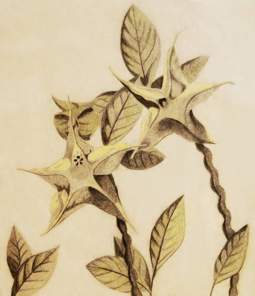 Coolidge Drawing - Star Flower by Sara Coolidge