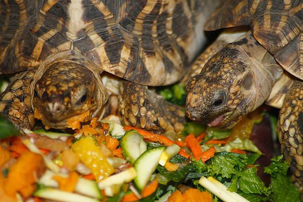 Photograph - Star Tortoise by Scott Hovind