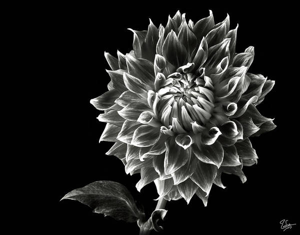 Wall Art - Photograph - Starburst Dahlia In Black And White by Endre Balogh