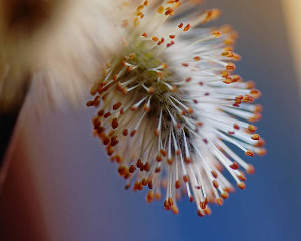 Willow Photograph - Starburst by Susan Capuano