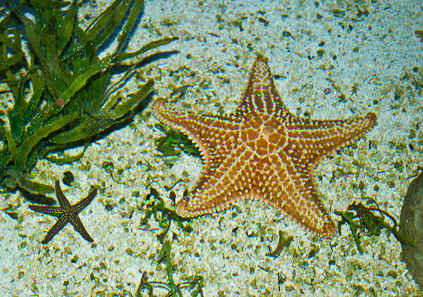 Photograph - Starfish Wil 255 by G L Sarti