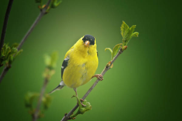 Goldfinch Photograph - Startled by Susan Capuano