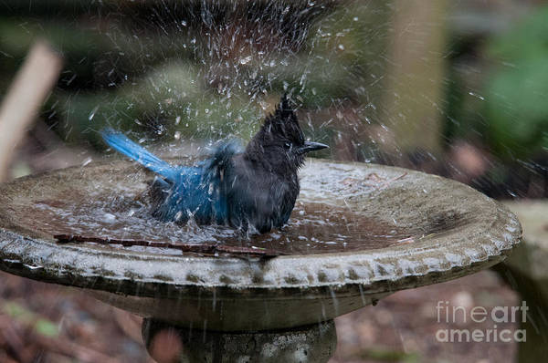 Wall Art - Digital Art - Stellar Jay In The Birdbath by Carol Ailles
