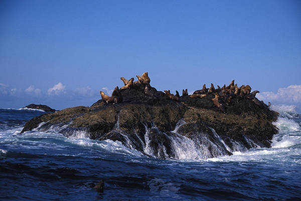 The Rookery Wall Art - Photograph - Stellar Sea Lions Bask On A Rock by Nick Norman