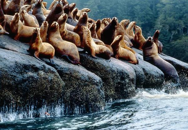 Wall Art - Photograph - Stellar Sea Lions by David Nunuk