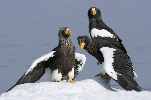 Kamchatka Photograph - Stellers Sea Eagle Trio by Sergey Gorshkov