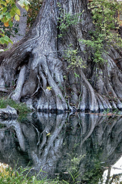 Photograph - Still Morning At Cypress Creek by James Woody