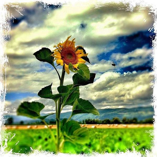 Sunflowers Wall Art - Photograph - Still Standing Tall. Wish You A Great by Urs Steiner