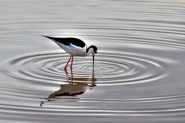 Photograph - Black-necked Stilt by Tam Ryan