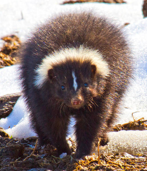 Skunk Photograph - Stop Where You Are by Betsy Knapp