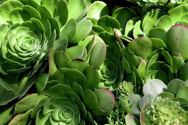 Photograph - Strand Succulent by Lorraine Devon Wilke
