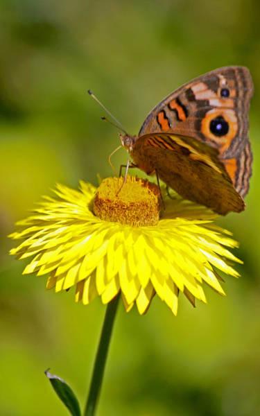 Buckeye Butterfly Wall Art - Photograph - Strawflower And Her Beauty by Melanie Moraga
