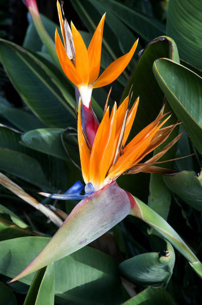 Native Plant Photograph - Strelitzia Reginae by Fabrizio Troiani
