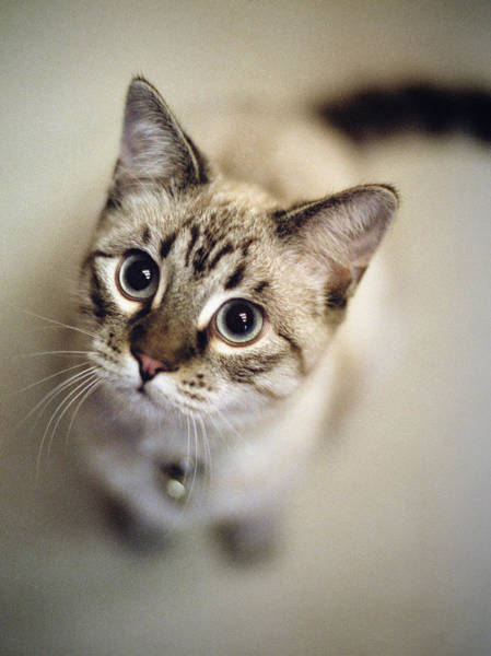 Staring Photograph - Striped Cat Looking Up by Danielle D. Hughson