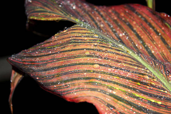 Photograph - Striped Leaf by Yuri Lev