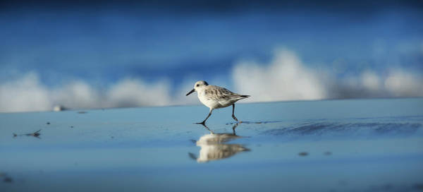 Shorebird Photograph - Strolling Shorebird by Steve Munch
