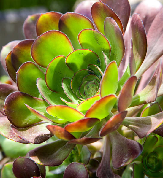 Photograph - Succulant In Light by Tony and Kristi Middleton