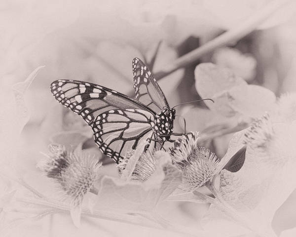 Monarch Butterflies Photograph - Summer Day Dream by Susan Capuano