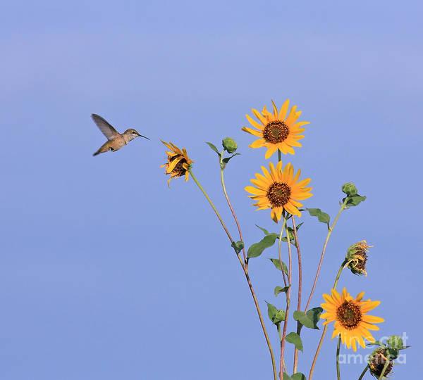 Photograph - Summer Day Hummingbird by David Cutts