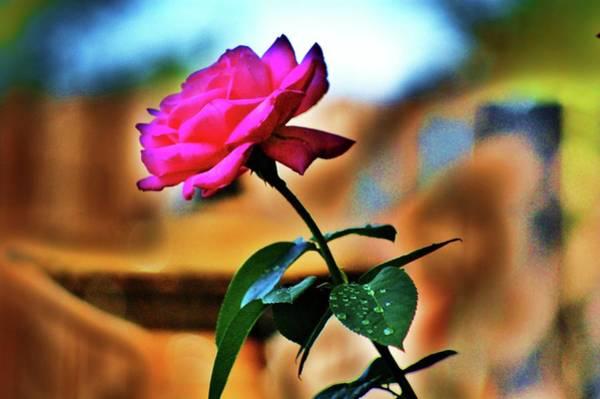 Photograph - Summer Rose by Helen Carson