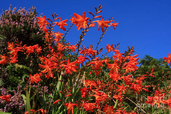 Photograph - Montbretia, Summer Wildflowers by Aidan Moran