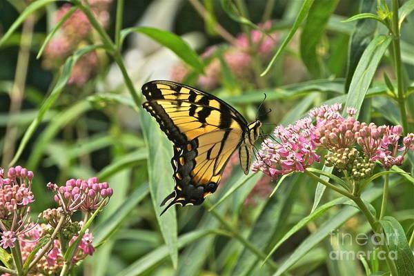 Photograph - Summer's Flying Tiger  by Byron Varvarigos