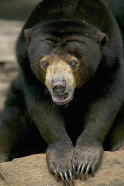 Wall Art - Photograph - Sun Bear Helarctos Malayanus Portrait by Cyril Ruoso