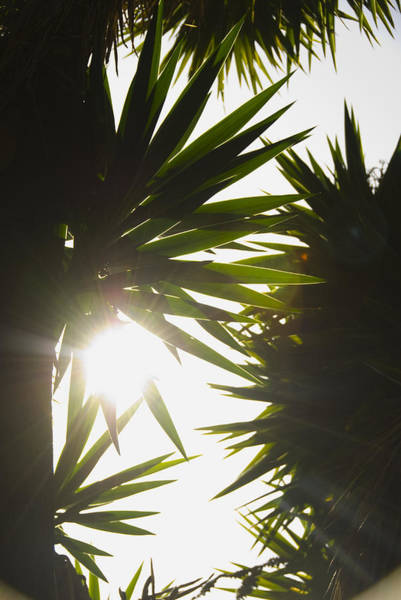 Yucca Palm Photograph - Sun Glowing Through Giant Yucca Leaves by James Forte