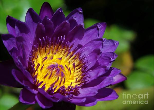 Photograph - Sun Kissed Water Lily by Sabrina L Ryan