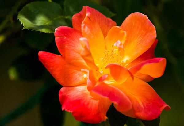 Photograph - Sunburst Rose by Adam Pender