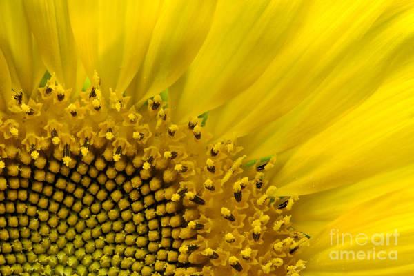 Wall Art - Photograph - Sunflower 2 - D002930 by Daniel Dempster