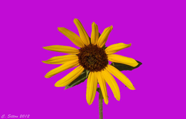 Photograph - Sunflower 2 by C Sitton