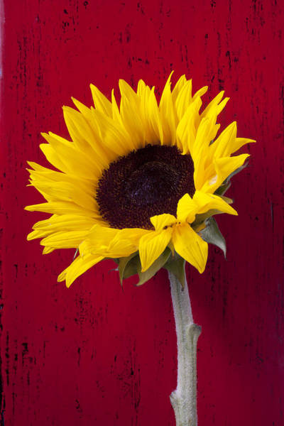Wall Art - Photograph - Sunflower Against Red Wooden Wall by Garry Gay