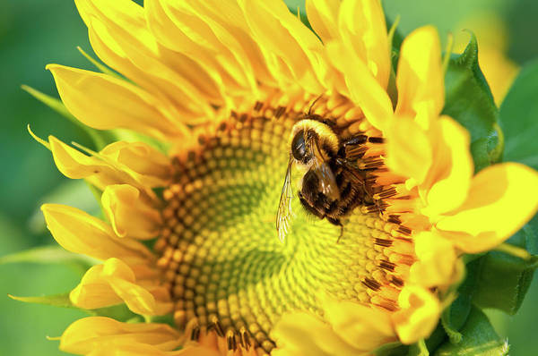 Photograph - Sunflower And Bee 8443 by Guy Whiteley
